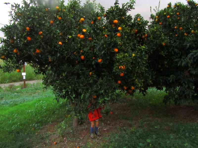 Weihnachten in Griechenland-Orangenbäumchen im Winter-reisen mit Kind